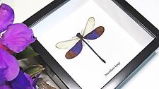 Dragonfly mounted insect shadowbox Neurobasis kaupi  BANK