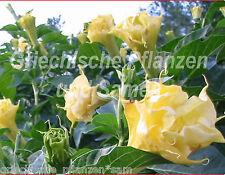 Datura golden Queen * 15 Samen * Engelstrompete * doppelt gefüllt Balkon Kübel