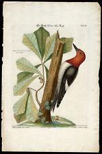 Antique Print-RED HEADED WOODPECKER-XL-Seligmann-Edwards-1768