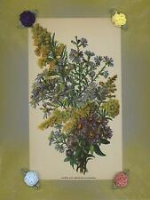 VINTAGE BOTANICAL ASTERS GOLDENROD WILD FLOWERS GARDEN  LITHOGRAPH PRINT BORDER
