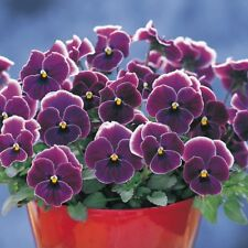 Pansy Nature Rose Picotee 25 Pansy Seeds