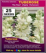 TUBEROSE ( Polianthes Tuberosa,) DB  'The Pearl'  25x  SEEDS