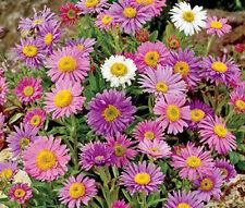 Aster Alpine Mixed Colors Aster Alpinus - 50 Seeds