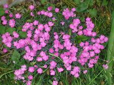 200 COTTAGE PINKS Laced Garden Dianthus Flower Seeds