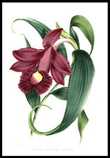 Large Sobralia Orchid 01848 Paxton Hand-Colored Lithograph Botany Horticulture
