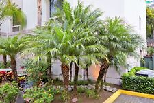 Phoenix roebelenii Palmen Pflanze Zwergdattelpalme Zimmerpalme 10cm