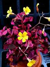OXALIS 'PLUM CRAZY' 2  INCH POT