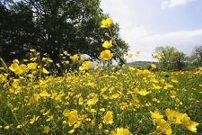 Prado Buttercup-Ranunculus acris - 600 semillas-Perenne Flores silvestres