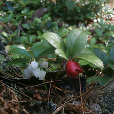 Wintergreen . Teaberry . 30 Plants . Pre-Order