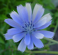 chicory, BLUE BEAUTY flower, COFFEE SUBST, 1000 seeds! GroCo