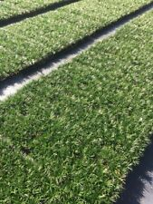 Dwarf Mondo Grass - 40 Live Plants - Shade Loving Evergreen Groundcover