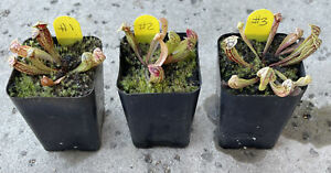 CHOOSE your Sarracenia purpurea var. montana (South Carolina)