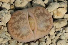 Lithops coleorum C 396 20 seeds