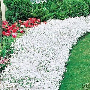 SNOW IN SUMMER  1200 seeds - CHICKWEED - Cerastium Tomentosum - PERENNIAL FLOWER