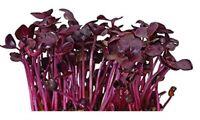 Radish Rambo Purple Non GMO Heirloom Sprouting Microgreens Vegetable Seeds