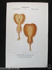 1847 ca torpedini pesce zoologia antica stampa acquerellata engraving D210