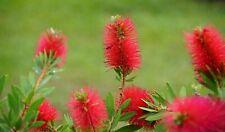 Crimson Bottlebrush 30 Seeds Ornamental Callistemon citrinus Overstock Price