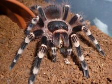 Acanthoscurria Geniculata Giant White Knee 8-10cm LIVEFOOD