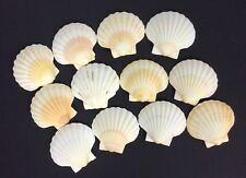Natural Scallop Clam Shell Lot Of 12 Crafting Baking Nautical Decor