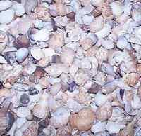 "5+ LB MEDIUM BEACH SEASHELLS  SEA SHELLS 1/2"" + WEDDING"