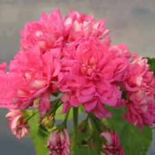 BUY 3 GET 2 FREE Geranium Rose Pink 'Rosebud' 10 Pcs Seeds Big Blooms Bonsai