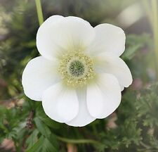 ANEMONE DE CAEN THE BRIDE 15 BULBS SPRING & SUMMER FLOWERING READY TO DISPATCH