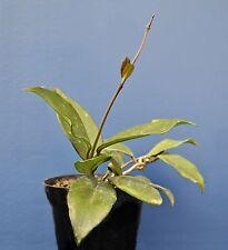 HOYA FLEISCHIG v14 cm blüten der wachs pflanze in vase topfpflanzen Pflanze