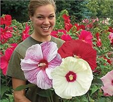 100 Giant Hibiscus Flower Seeds Hardy,Mix Color, DIY Home Garden Potted or Yard