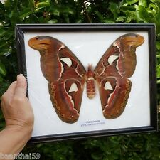 Atlas Moth (F) Butterfly Real Taxidermy Attacus Insect Framed Display Mounted