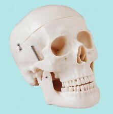 LifeSize Anatomical Deluxe Human Skull Model - Medical Skeleton Anatomy Teaching