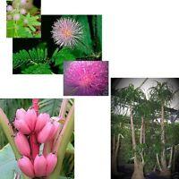 drei zum Preis von zwei: echte Mimose, rosa Banane und Elefantenfuß