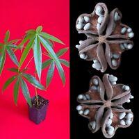 """Java Olive Almond Sterculia Foetida Plant Tropic Fruit Tree 10-15"""""""