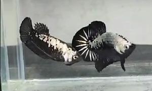 1pair Live Betta Fish Black Samurai HMPK  (Male & Female) Top quality grade