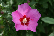 50 Pink/Red Rose of Sharon Seeds