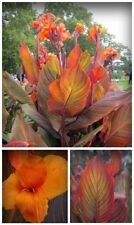 Tropicanna canna lily 1- Bulb Tropical Look By The Pond Or Bog Plant