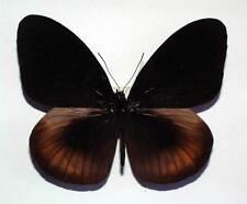 EUPLOEA MAGOU - unmounted butterfly