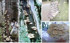 Austernpilz besondere tolle Deko Dekoidee zur Verzierung von Holz für den Garten