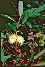 Eucalyptus pumila (Gum Tree) in 50mm forestry tube native plant tree RARE