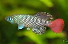 The Tropical Fish Killifish Nothobranchius Palmquisti Red 50 Eggs Easy Hatch