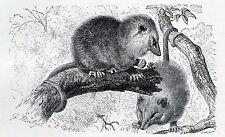 C4182 Opossum - Didelphys virginiana - Xilografia - 1931 Vintage engraving