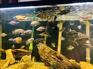 """6 Pack ASSORTED AFRICAN CICHLID Peacocks 2""""-3"""" Juveniles FREE SHIPPING"""