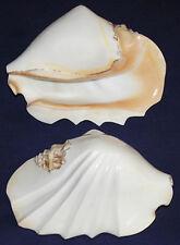 "Strombus Latissimus Conch Shell~5""-6""~Unique Hand Polished Sculpted Design"