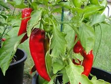 50 Pepper Seeds Corno DiTorro Rosso Sweet Pepper Seeds
