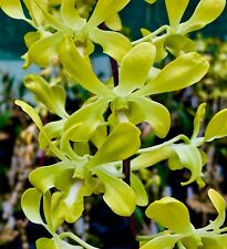Dendrobium ´Green Oriental Butterfly' NEW Orchidee Orchideen