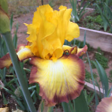 """Tall Bearded Iris Rhizome """"Clothed In Glory"""" Last Auction!"""
