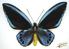 Ornithoptera priamus urvillianus  blue SET x1 Pair A1-  specimen Solomon island