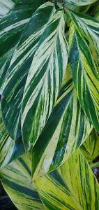 Alpinia Zerumbet Variegated Shell Ginger Yellow Rhizome Live Plant
