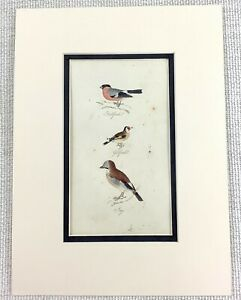 1841 Antique Bird Print Bullfinch Goldfinch Jay Birds Hand Coloured ENGRAVING