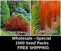 """SEED SALE  Ornamental Grass """"Apache Flame""""   1000  Seeds   FREE SHIPPING"""