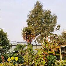 frostfest verbreitet Mittelmeer-Flair Atlantischer Pistazienbaum Samen .